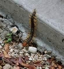 texas redheaded centipede jpg 336x361